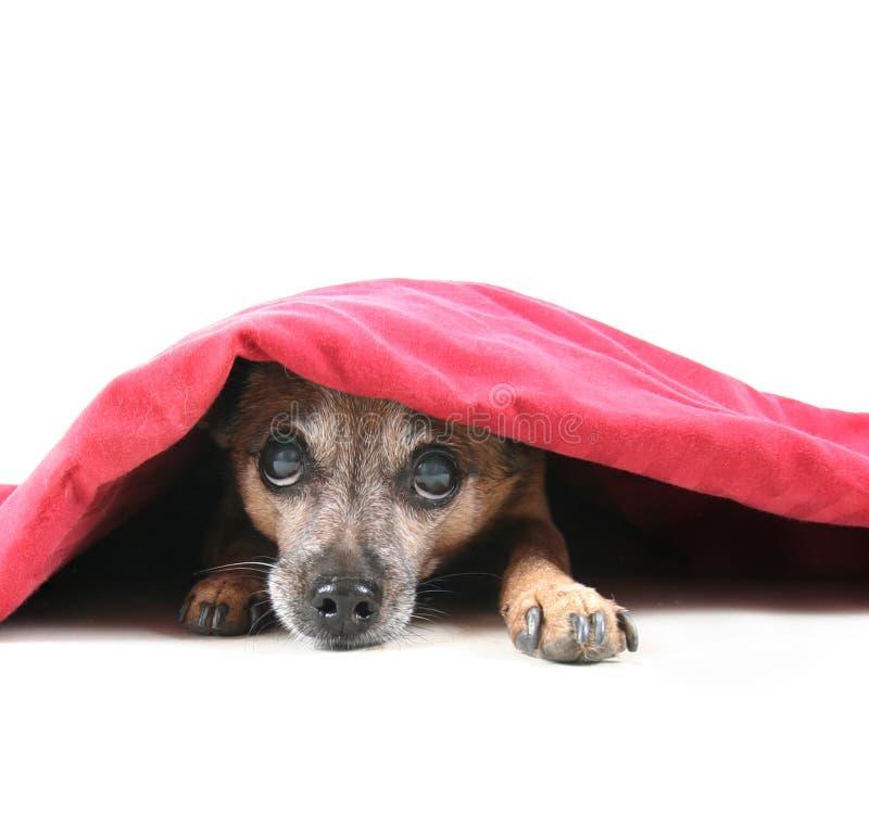 Undercover Hund stockfoto