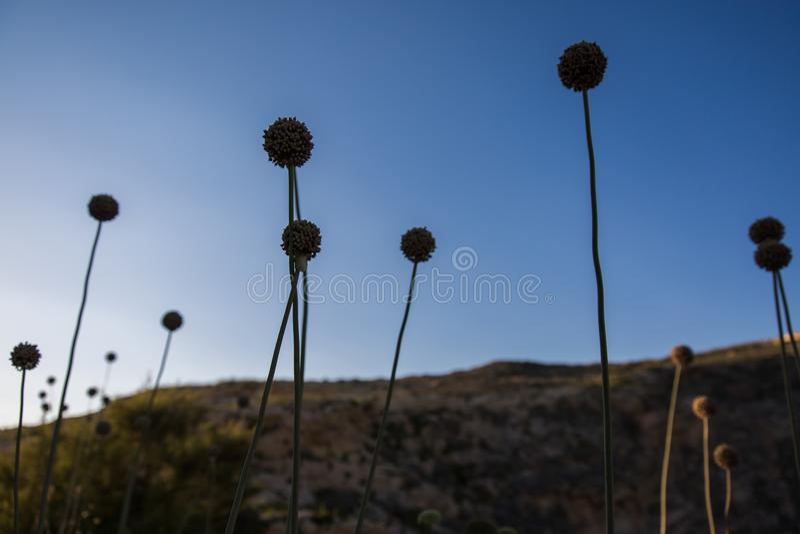 Underexposed Dziki Leek Kwitnie z Gozo wyspy wapnia falezami zdjęcie stock
