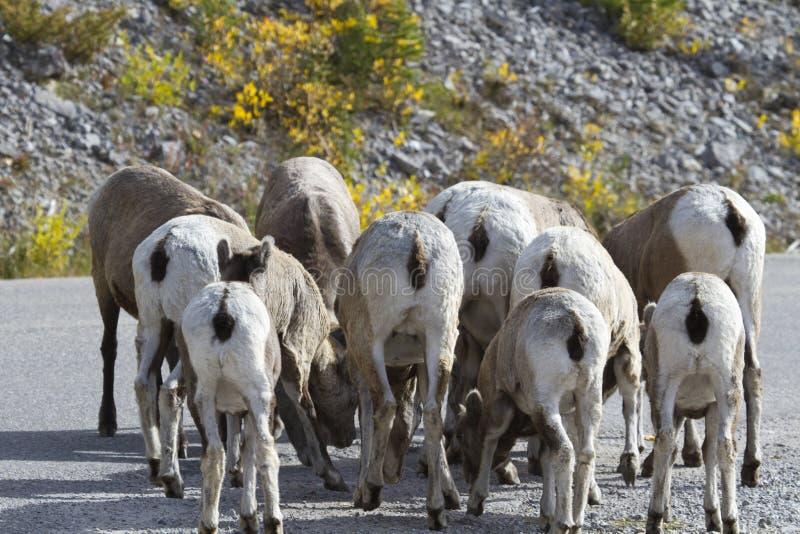Underhållande flock av bighornfår med bakre sikter arkivbilder