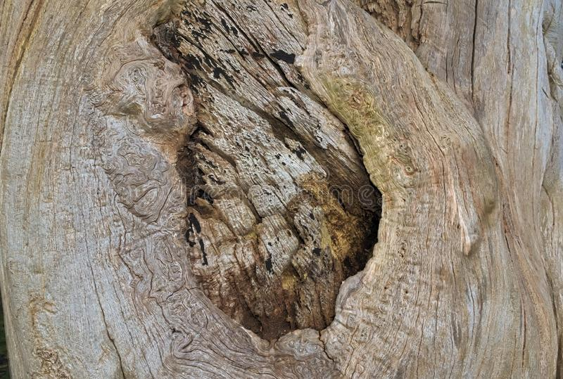 The underneath of bark. Unusual markings on an old tree trunk. A big scar has been left where a branch used to be, the smooth surface and wood underneath are royalty free stock photos