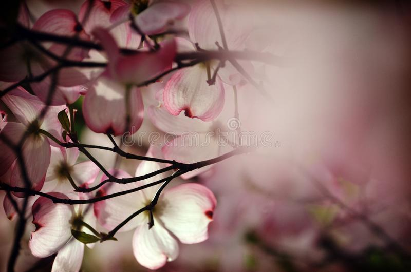 Underneath the Dogwood tree royalty free stock images
