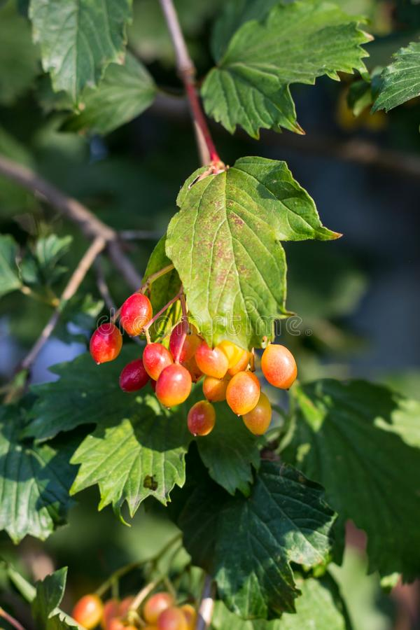 underripe viburnum bunches on the tree in the garden stock photo