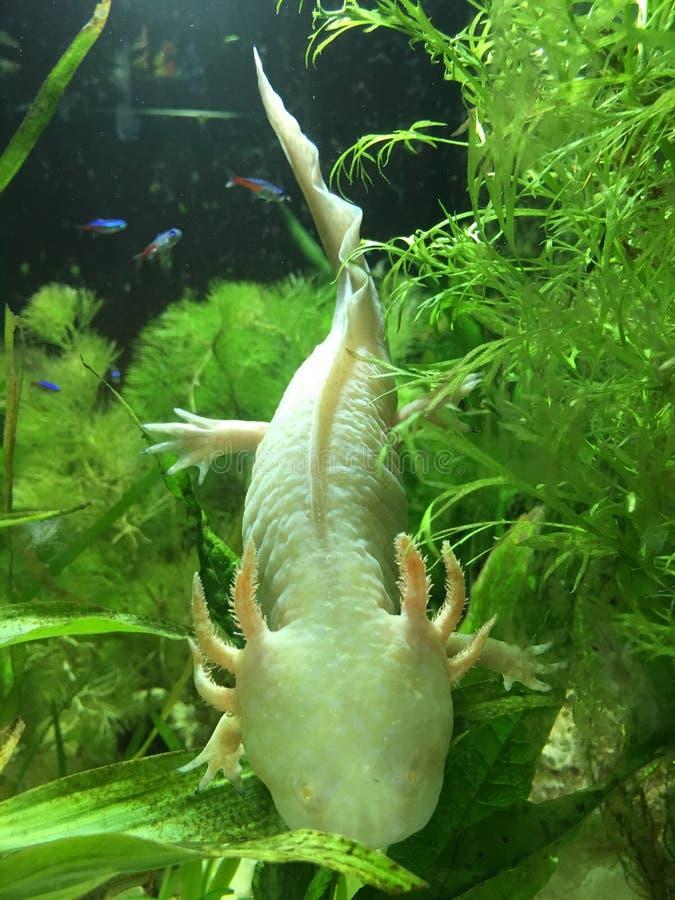Undersökande albinoaxolotl royaltyfria foton