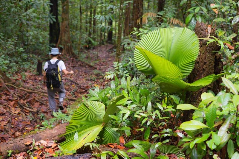 Undersökande Borneo rainforest royaltyfria bilder