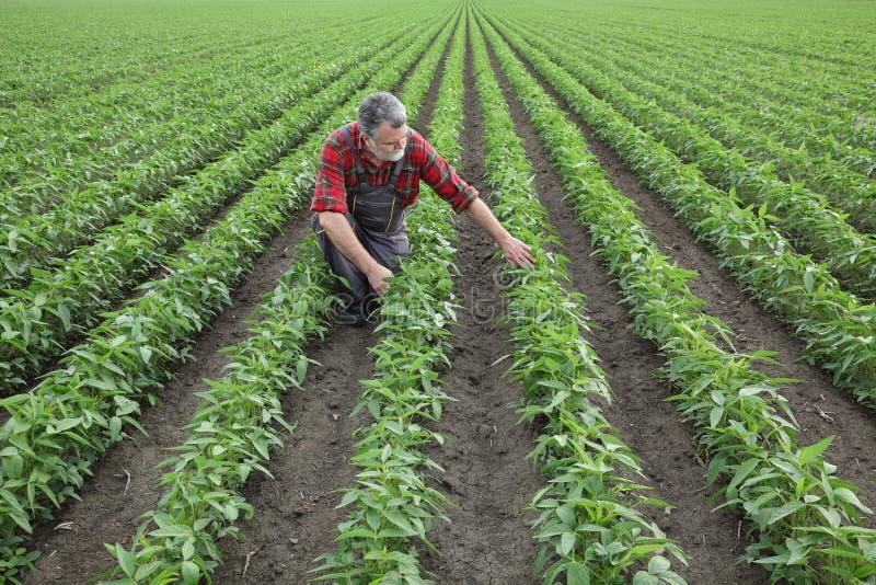 Undersökande sojabönaskörd för bonde i fält royaltyfri bild