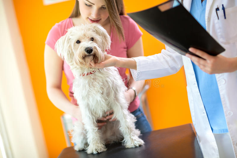 Undersökning av den sjuka maltesiska hunden i veterinärklinik fotografering för bildbyråer