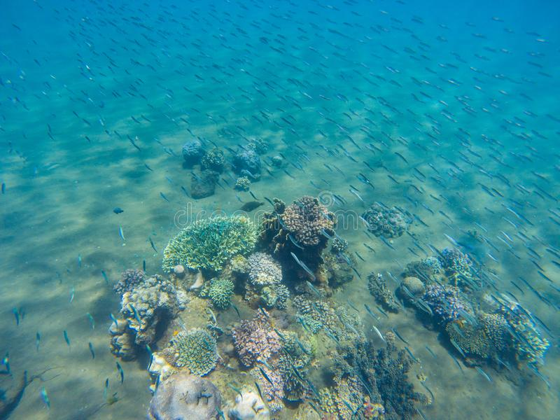 Undersea landscape with sardine fish shoal and young coral reef. Tropical seashore animals underwater photo. Sea bottom perspective landscape. Oceanic wildlife stock photography