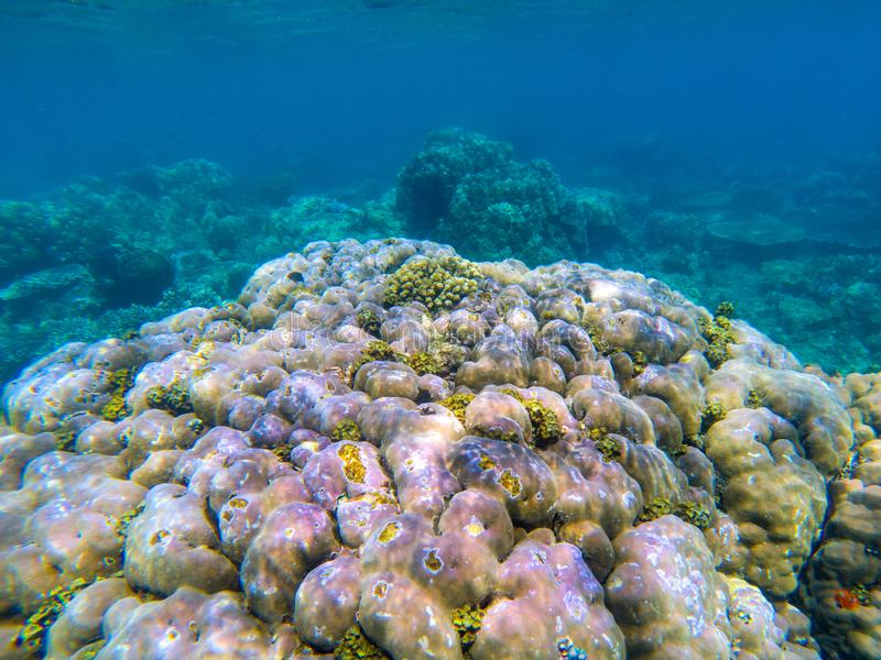 Undersea landscape with violet and green coral reef. Tropical seashore animals underwater photo royalty free stock photos