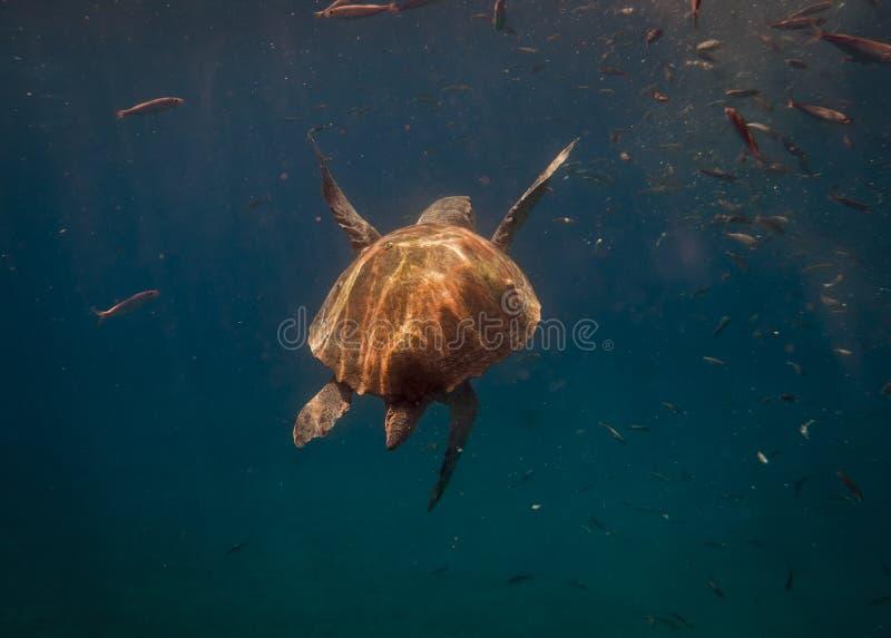 Undersea värld vermelha för sköldpadda för hav för bahia brazil coroaö arkivfoto
