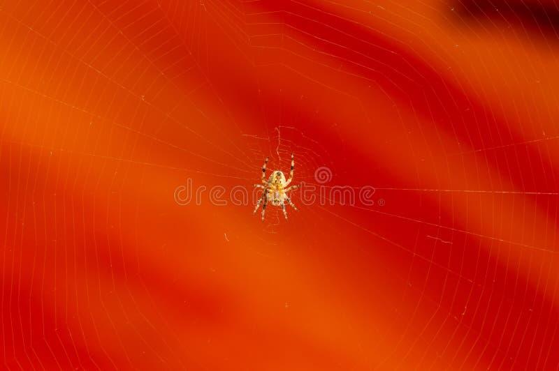 Underside άποψη της αράχνης στον Ιστό με το πορτοκαλί υπόβαθρο στοκ φωτογραφία