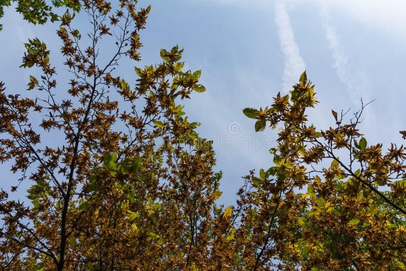 Underside δέντρων αντίθεσης ουρανού μπλε πρωινός ουρανός εποχής πτώσης φθινοπώρου πορτοκαλής στοκ φωτογραφίες