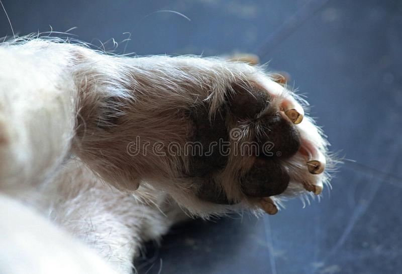 UNDERSIDE OF A DOG`S PAW stock photos