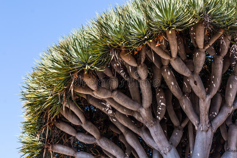 Underside of Dragon Blood Tree stock photo