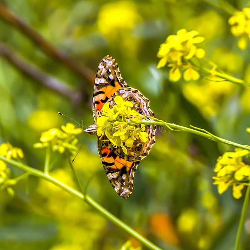 Underside of Orange Butterfly with Wings Extended on Yellow Wildflower stock photo