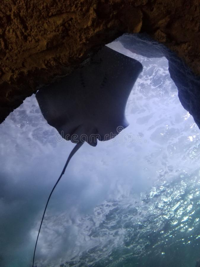 The Underside of a Stingray royalty free stock images