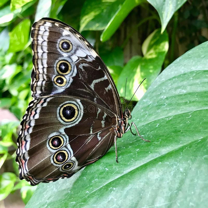 Underside Wing of the Blue Morpho Butterfly. A blue morpho butterfly also known as common morpho or emperor butterfly stands on a green tropical leaf. The royalty free stock image