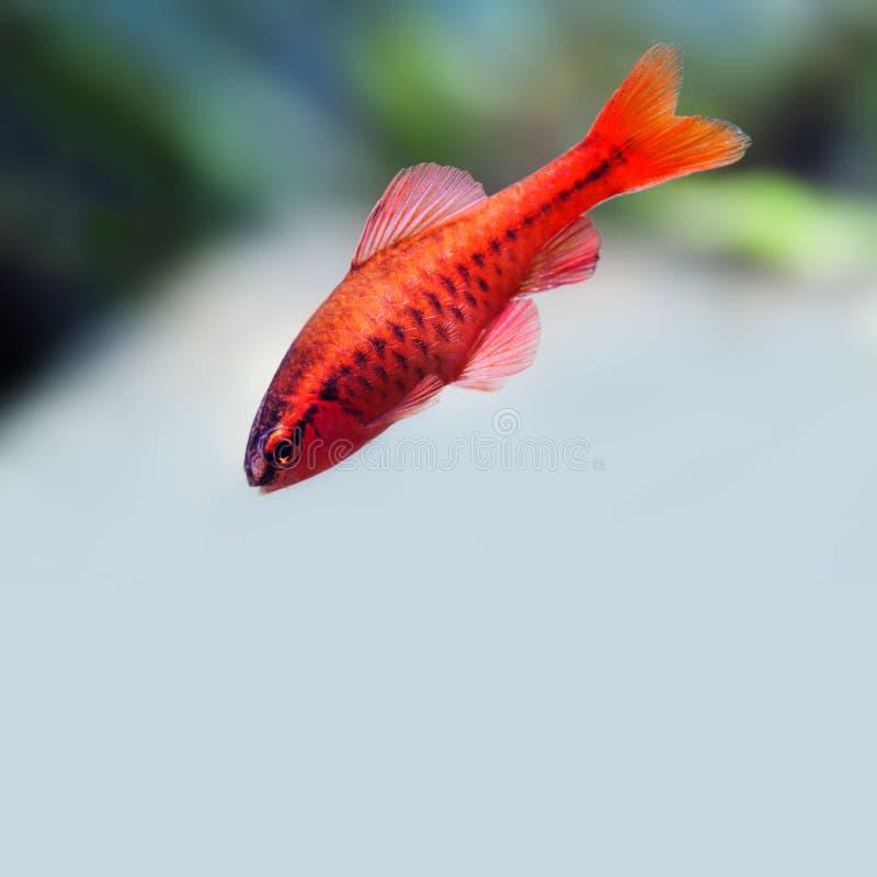 Undervattens- akvariumstillebenplats För fiskBarb Puntius för röd färg som tropiskt bad titteya är ljust - grå bakgrund grunt royaltyfria bilder