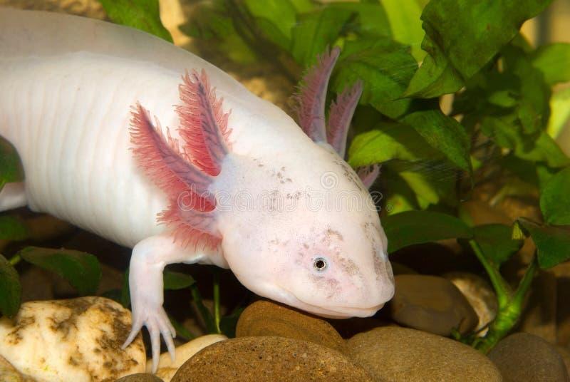 Undervattens- Axolotlståendeslut upp i ett akvarium Mexicansk gå fisk Ambystomamexicanum royaltyfria foton