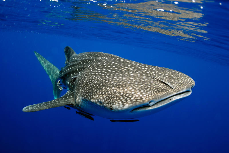 Undervattens- bild för valhaj royaltyfria foton