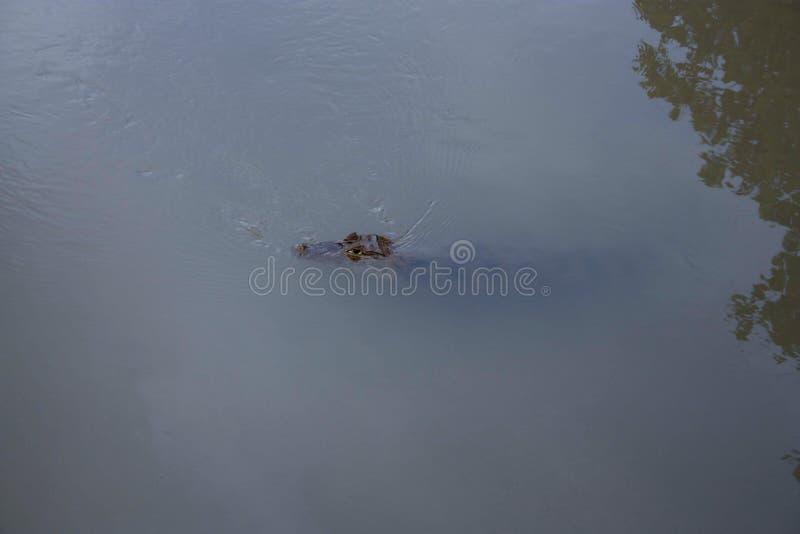 Undervattens- blått vatten för synlig head alligatorkropp arkivfoton