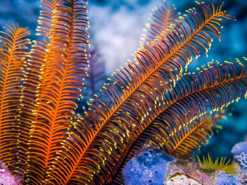 Undervattens- Crinoid - fjäderstjärnan på vaggar Marin liv av korallreven arkivbilder