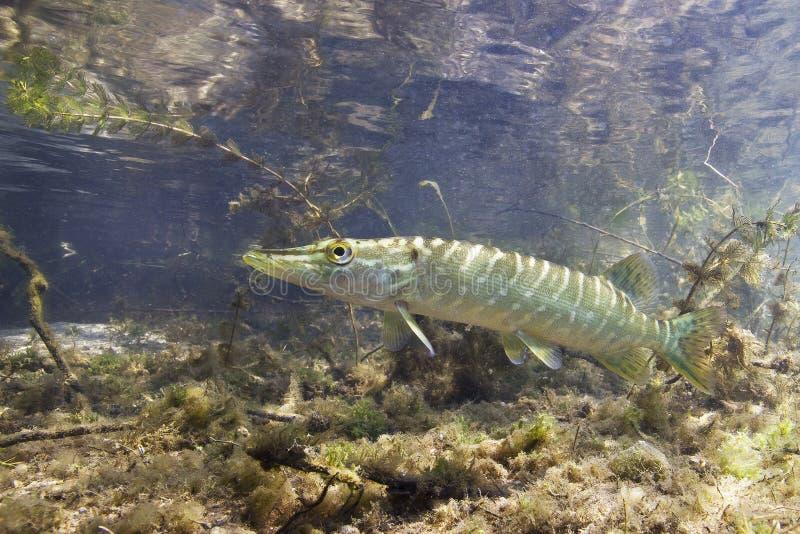 Undervattens- Esox för nordlig pik för sötvattensfisk lucius arkivbild