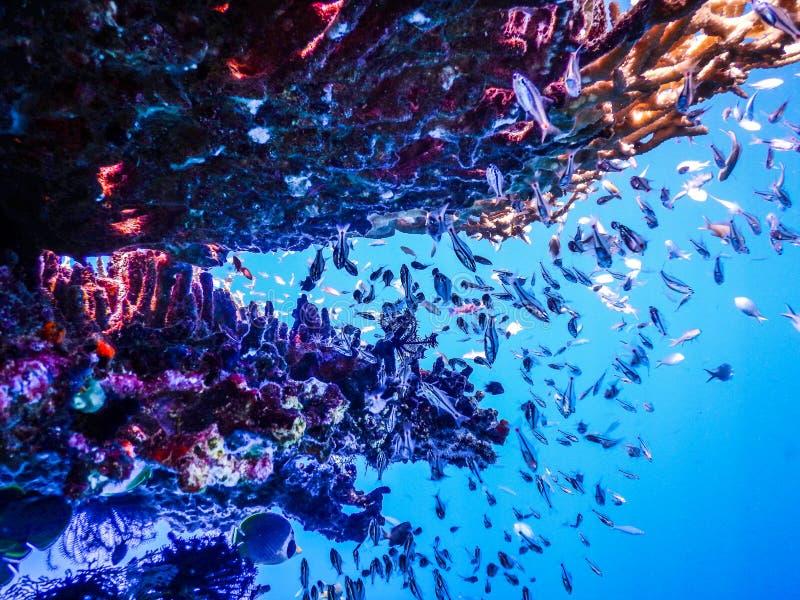 Undervattens- fisk för Indonesien Menjangan ö arkivfoton