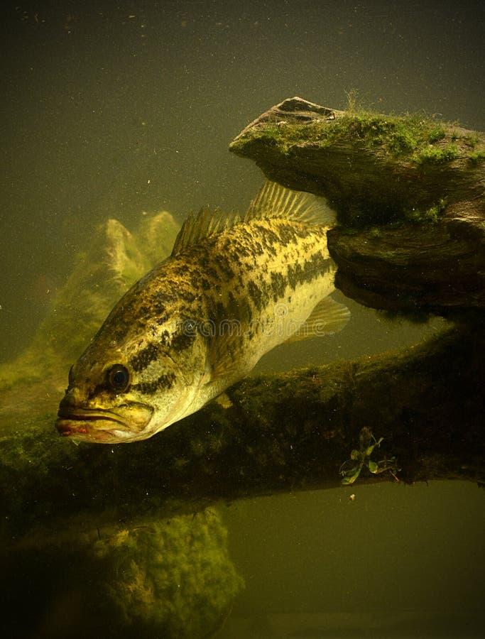Undervattens- fisk för largemouth bas royaltyfria bilder