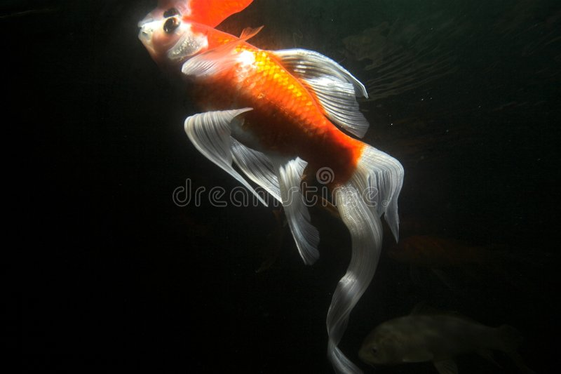 undervattens- fiskkoi royaltyfria foton
