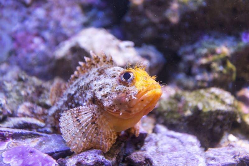 Undervattens- fiskskorpionfisk royaltyfri bild