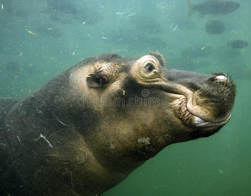 undervattens- flodhäst royaltyfria bilder