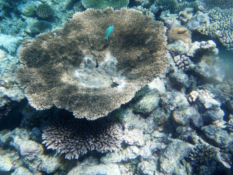 undervattens- härlig blå fisk royaltyfria foton
