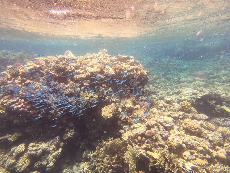 Undervattens- koraller med den blåa purpurfärgade fisken som omkring simmar i blått grunt vatten av Röda havet, Egypten Naturskön royaltyfri foto