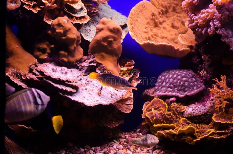 Undervattens- koraller och fisk för rött hav royaltyfri foto