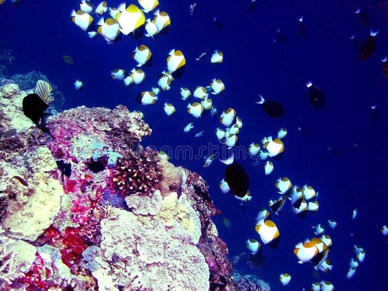 undervattens- korallrev royaltyfri fotografi