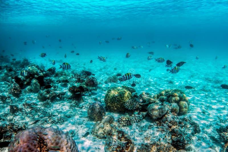 Undervattens- korallrev och fisk i Indiska oceanen, Maldiverna arkivfoton
