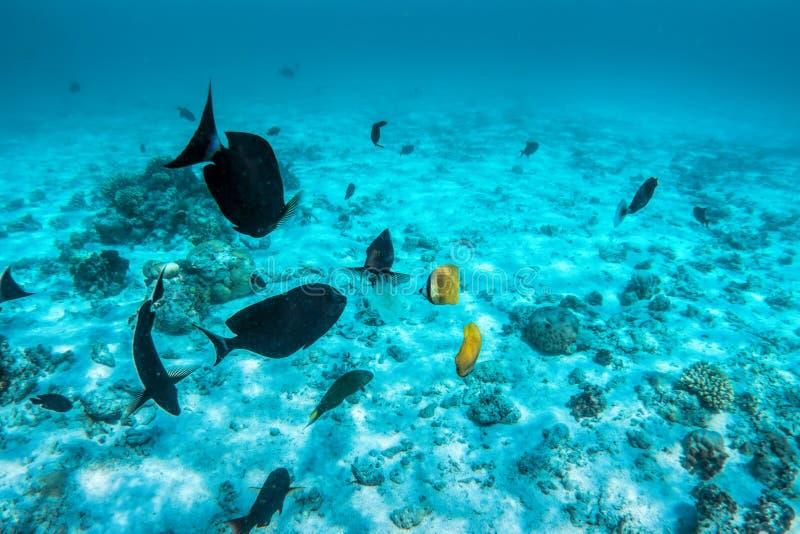 Undervattens- korallrev och fisk i Indiska oceanen, Maldiverna royaltyfria foton