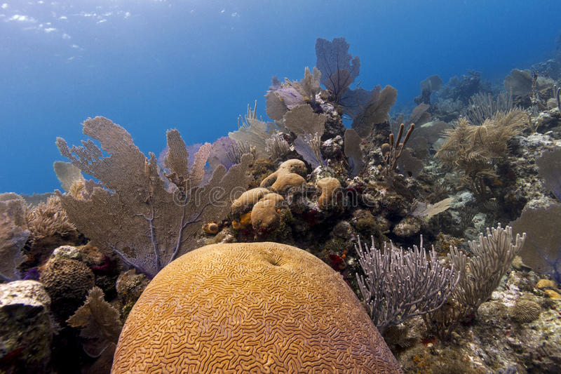 Undervattens- korallträdgård, Cayos Cochinos, Honduras royaltyfri fotografi