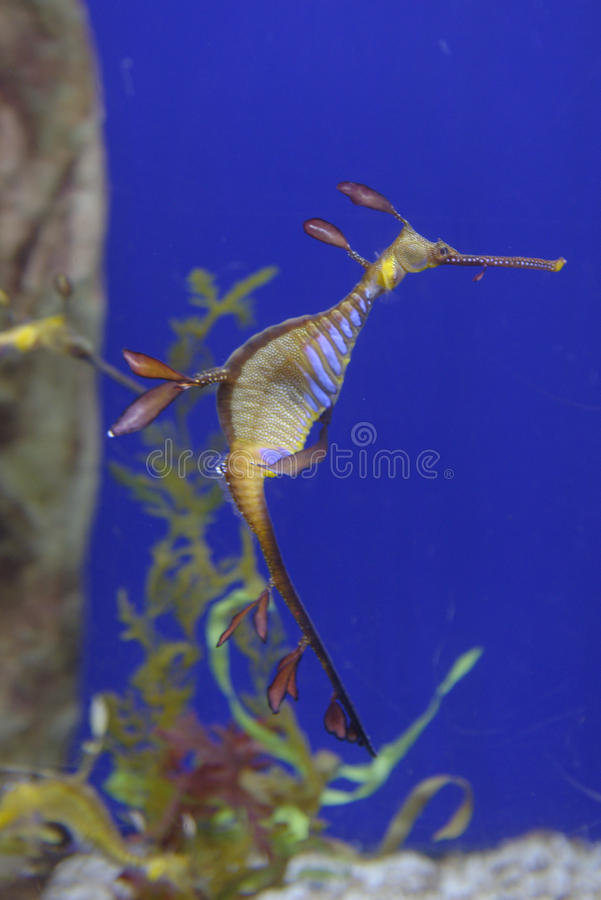 Undervattens- lövrika Seadragon arkivbild