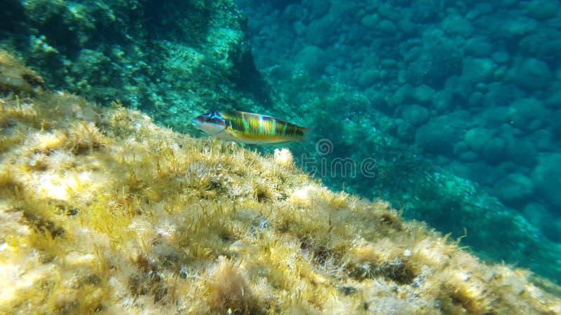 Undervattens- landskap i Sardinia med den utsmyckade wrassefisken (donzellapavonina) som utom fara simmar vatten royaltyfria foton