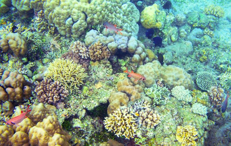 Undervattens- landskap med den tropiska fisken Coral Diversity Exotiskt djurliv för grunt vatten för ö royaltyfri fotografi