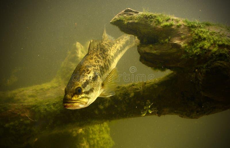 Undervattens- largemouth bas i florida arkivfoto
