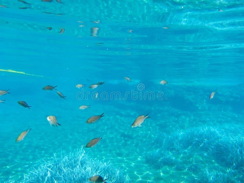 Undervattens- livkalogries, damselfish eller medelhavs- Chromis i den Kythnos för Kolona dubblettfjärd ön Cyclades Grekland arkivfoto