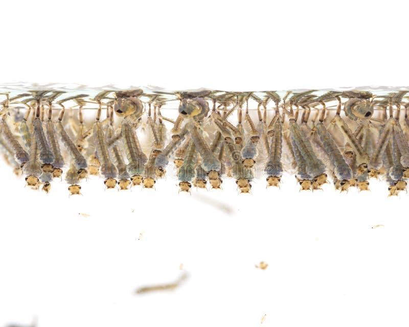 Undervattens- myggapuppor arkivbild