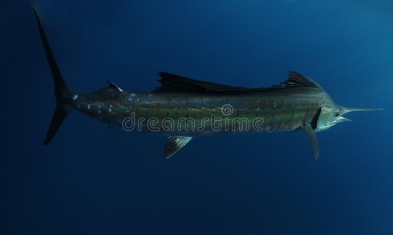undervattens- salifish royaltyfri bild