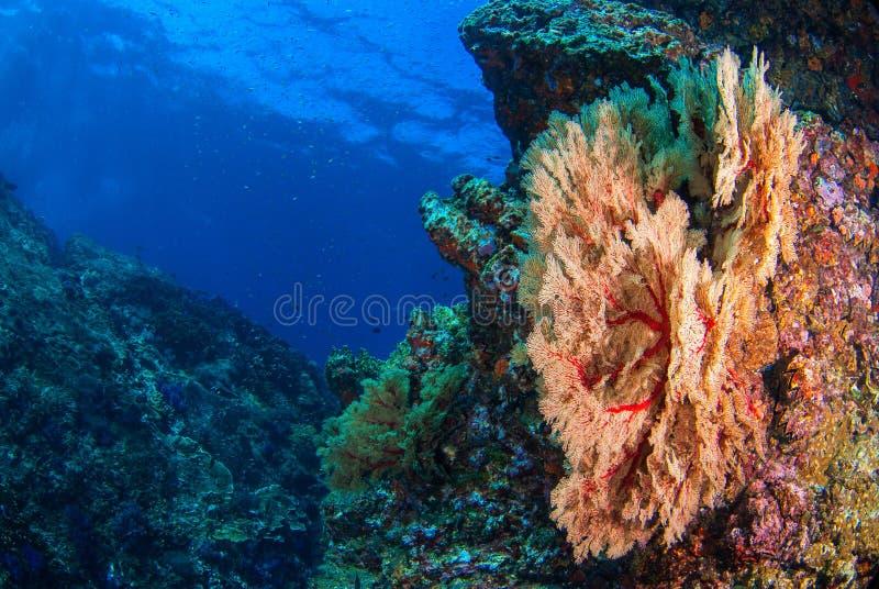 Undervattens- Seafan royaltyfria bilder