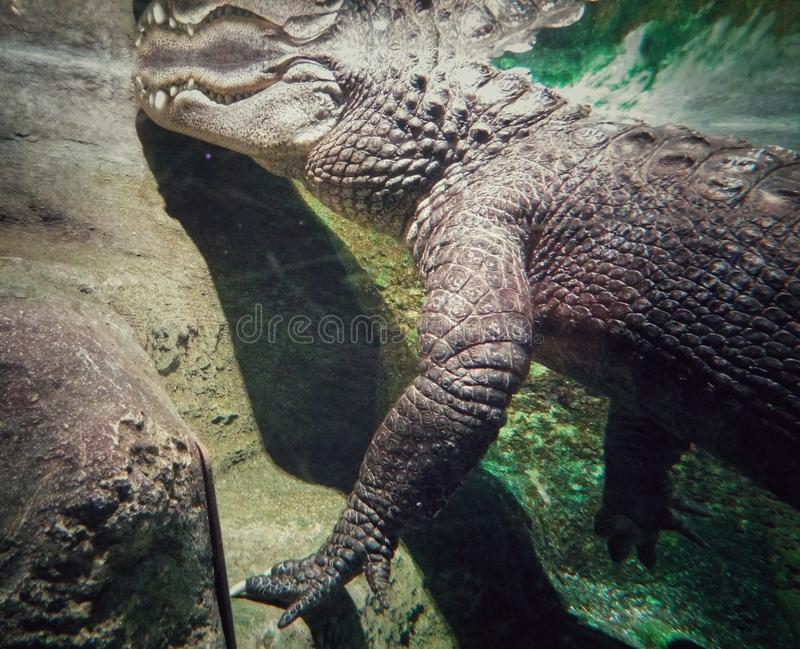 Undervattens- sikt av en stor krokodil med detaljer av dess våg och huggtänder arkivfoto