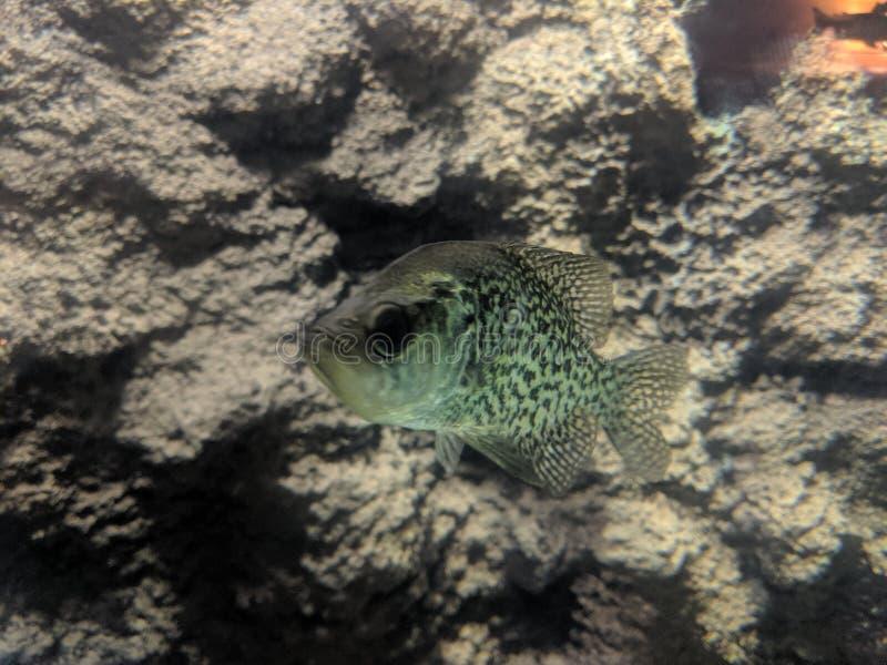 Undervattens- sikt av fisken royaltyfria foton