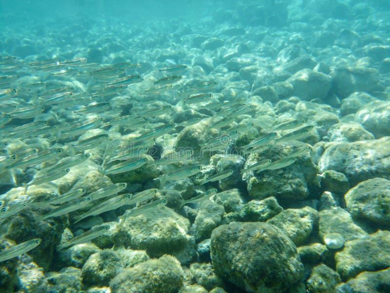 UNDERVATTENS- sikt en liten fiskflock i turkosfrikändvattnet och de vita kiselstenarna spridda av havsbottnen av den Antisamos fj royaltyfri fotografi