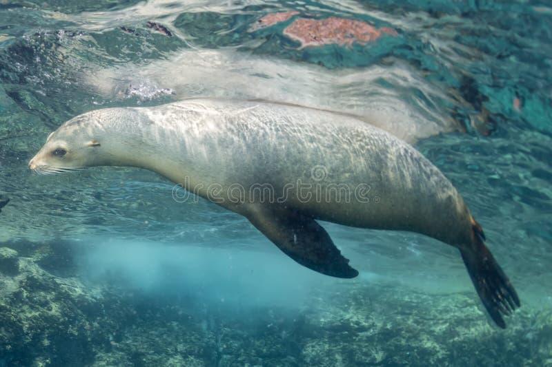 Undervattens- sjölejon arkivfoto